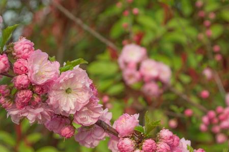 Pink plum (peach blossom)
