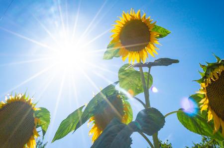 Sunflower under sunlight Stock Photo
