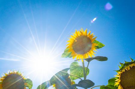 Sunflower under the blue sky Stock Photo