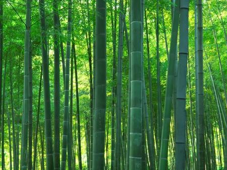 アジアの竹の森