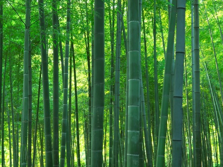 bamboo: asian bamboo forest