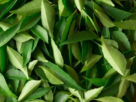 新鮮なカレーの葉のクローズ アップ
