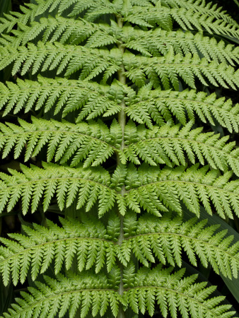 nature pattern: close up of a fern leaf texture background