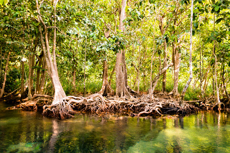 The root and crystal stream  freshwater meets with seawater from the mangrove forest, Krabi, Thailand photo