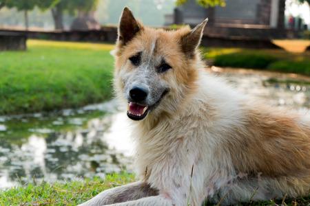 kaew: Bang Kaew Thai dog