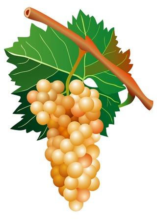 vector illustration of mellow white grape cluster Stock Vector - 5634615