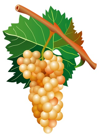 mellow: vector illustration of mellow white grape cluster  Illustration