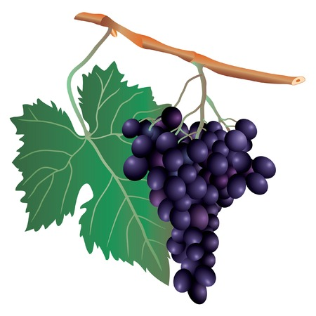 purple grapes: vector illustration of the muscat grape cluster