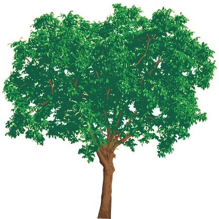 plats:   illustration of the nut tree Illustration