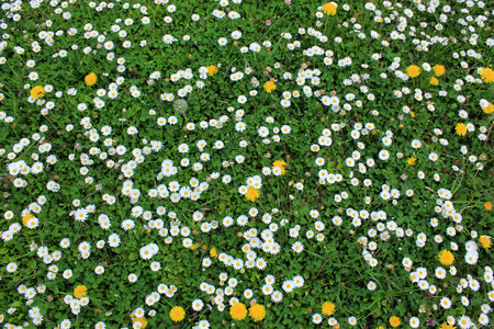 daisies, dandelions and clovers photo