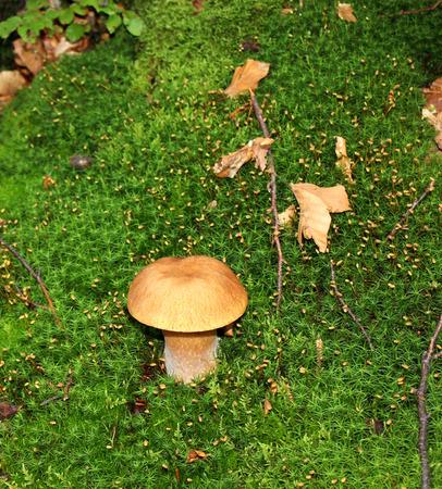 boletus mushroom: Boletus Mushroom in autumn forest Stock Photo