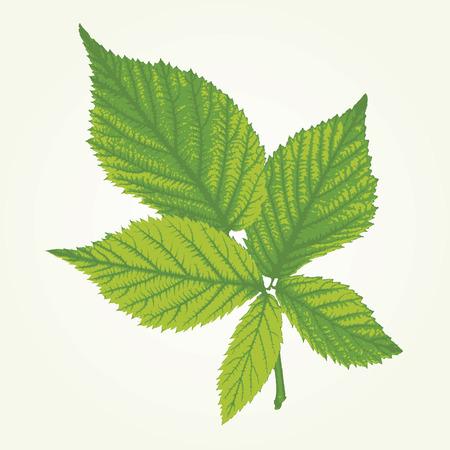 elasticidad: vector de hojas de frambuesa en tres colores verdes Vectores