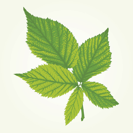 elasticity: vector raspberry leaves in three green colors Illustration