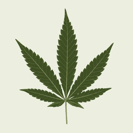 cannabis sativa leaf, illustration, marijuana leaf, medical marijuana, marijuana plant, cannabis plant.