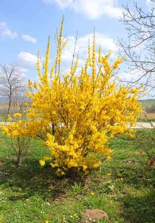 yellow bush forsythia