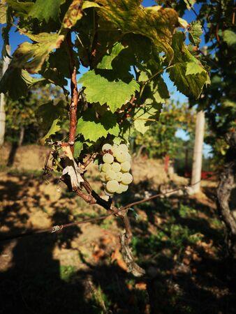 ripe Sauvignon Blanc grapes on vine in vineyard in autumn