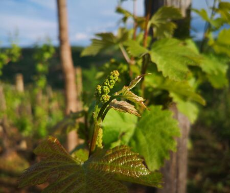 baby grape after spraying against fungal diseases