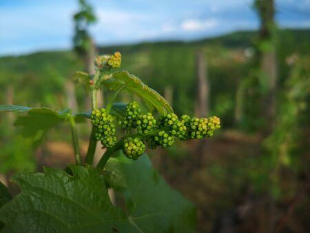 baby grapes before flowering 免版税图像