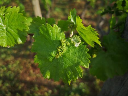 baby grape after spraying against fungal diseases 免版税图像 - 148239098