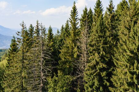Group of spruce trees in Carpathians in summer