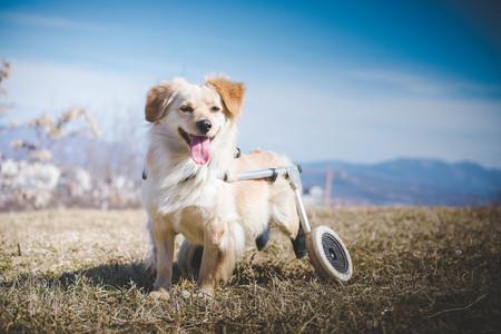 Beeld van gehandicapte hond in een rolstoel tijdens een gang Stockfoto