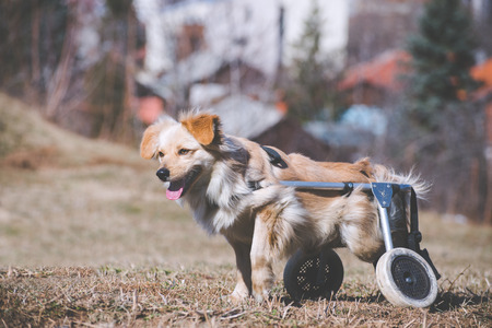 Brave handicapped dog posing for a photo