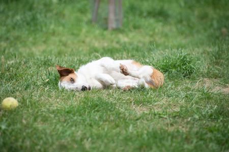 socialization: Young lazy cute dog resting on the lawn