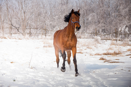 Strong, proud bay horse galloping on the snowy meadow