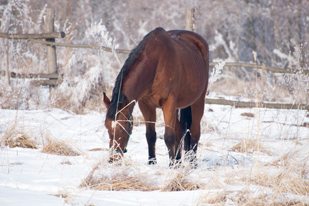 Beautiful horse on the snowy meadow looking for a food