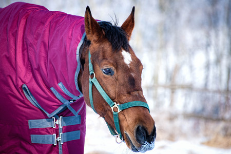 Winter portrait of a lovely horse with a blanket