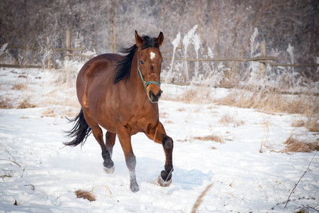 Cheerful bay horse running through a snow Stock Photo