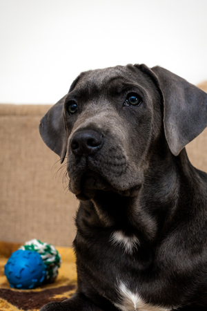 Adorable cane corso puppy posing for a photo Stock Photo