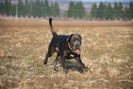 Big dog running on the plowed land Stock Photo