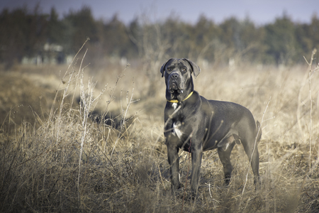 Stunning dark gray italian mastiff in the field during a obedience training