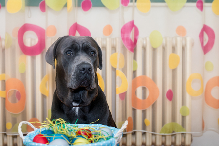 Easter eggs in the basket guarded by young italian mastiff