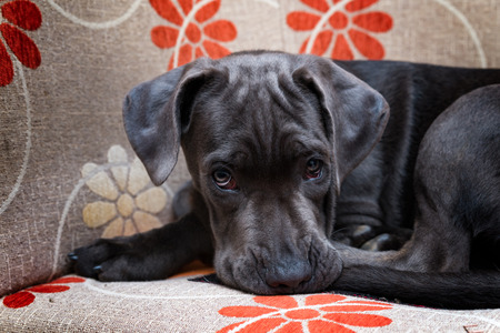 Cane corso puppy waiting for a photo session Stock Photo