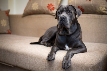 Beautiful purebred dark gray cane corso lying on the sofa
