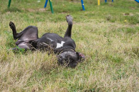 Stunning purebred italian mastiff rolling on the grass