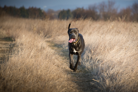 Patrolling and guarding  through the tall dry grass Stock Photo