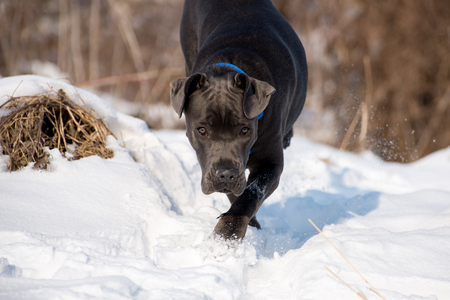 Young cane corso on the snow