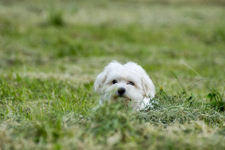 잔디에 숨어있는 작은 흰색 Bichon 개