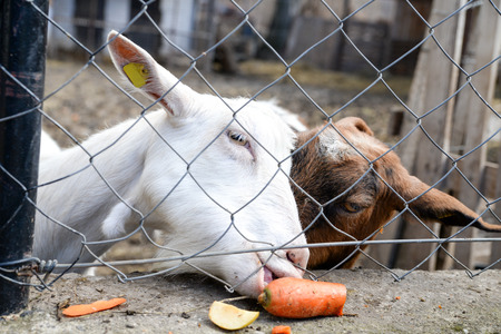 wire mesh: Two goats behind wire mash trying to eat some carts and apples Stock Photo