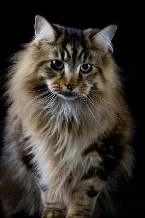 longhair: Brown longhair cat on black background