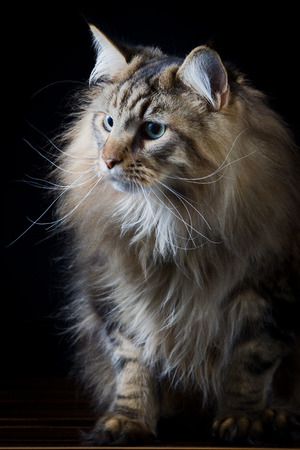 pet photography: Brown longhair cat on black background