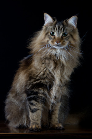 longhair: Brown longhair cat