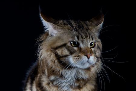 longhair: Longhair brown cat looking down