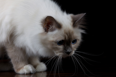 longhair: Brown white longhair cat at attention Stock Photo