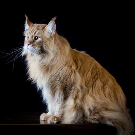 black head and moustache: Longhair brown cat looking a side Stock Photo