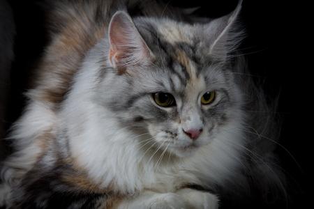 longhair: Longhair cat looking down
