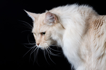 longhair: Brown white longhair cat looking down